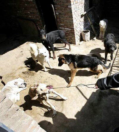 matan-perros-china04